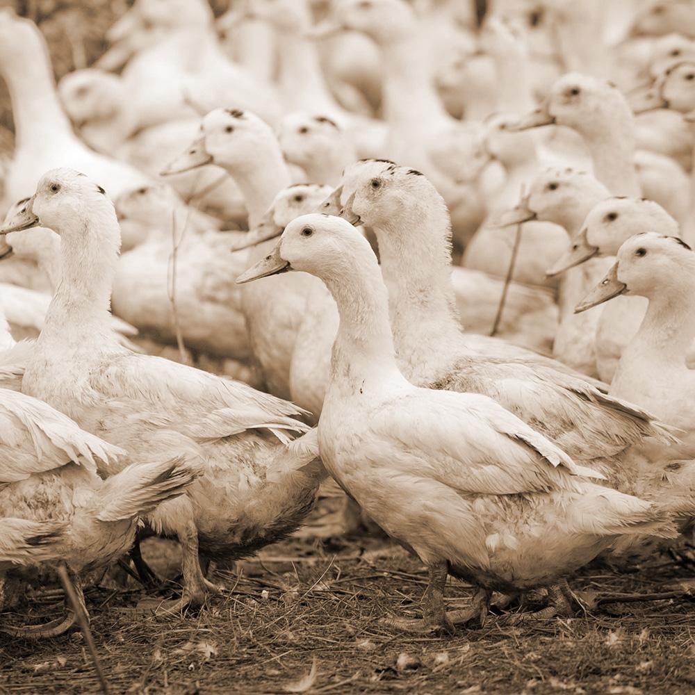 canard a foie gras du sud ouest coopérative maison occitane